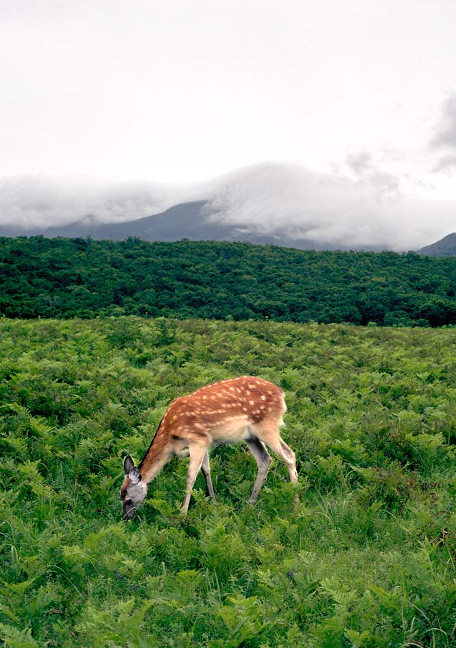 A sika deer grazing in a summer pasture in Shiretoko National Park.