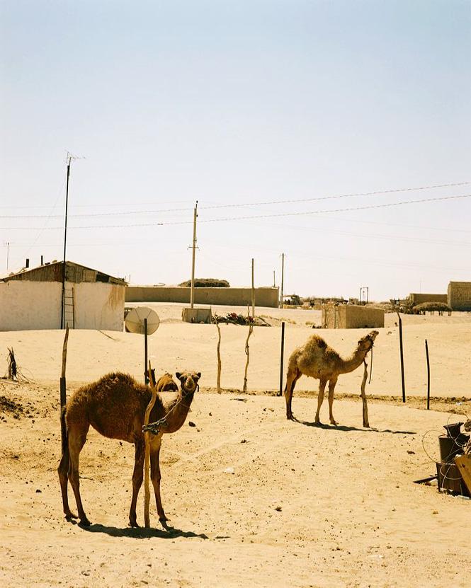 Shifting Sands Camels in the Karakum Desert.