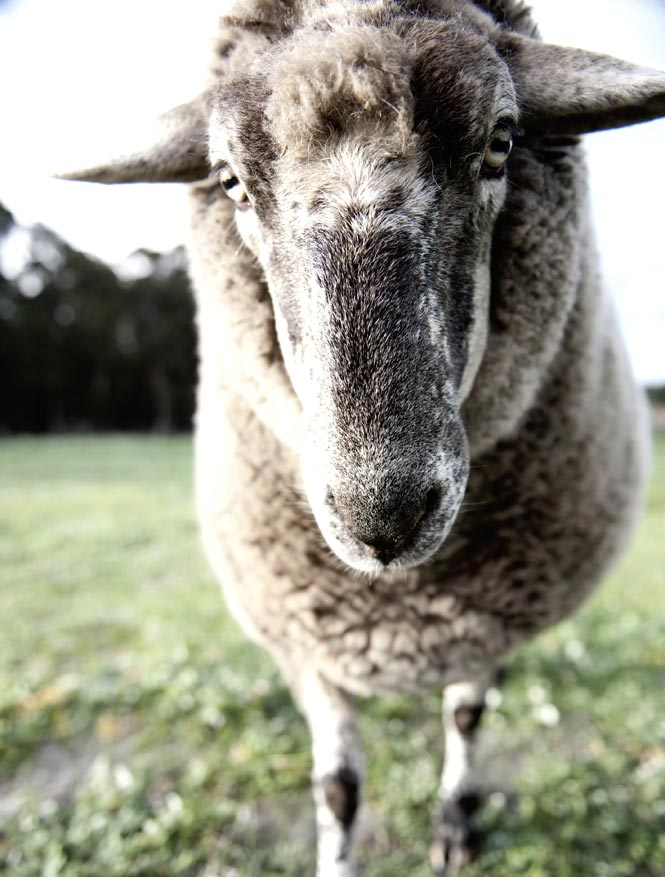 An old sheep welcomes guests at Edwards Wines, one of Margaret River's premier wineries.