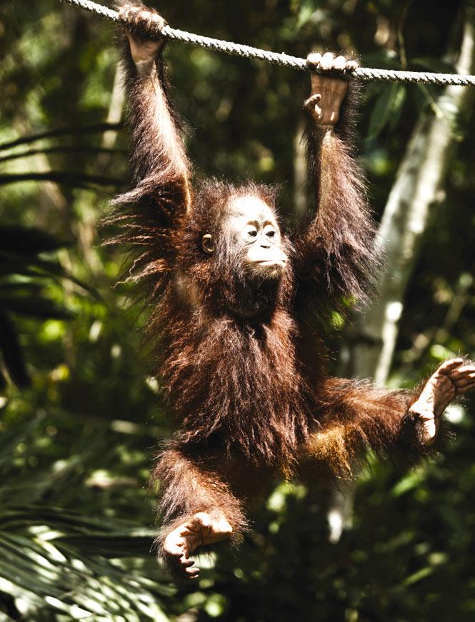 A resident of Sepilok's orangutan sanctuary