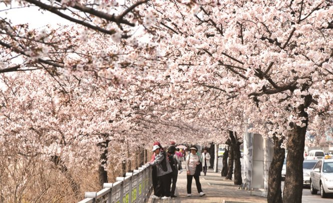 10 Places To See Cherry Blossoms Other Than Japan Destinasian