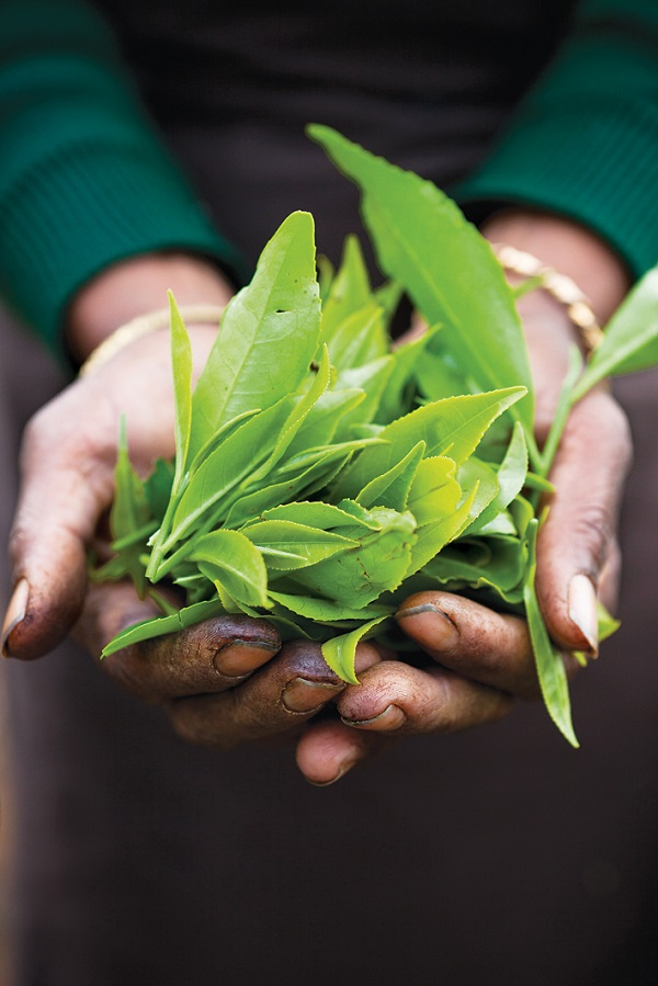 A handful of Ceylon tea leaves, Sri Lanka's quintessential crop.
