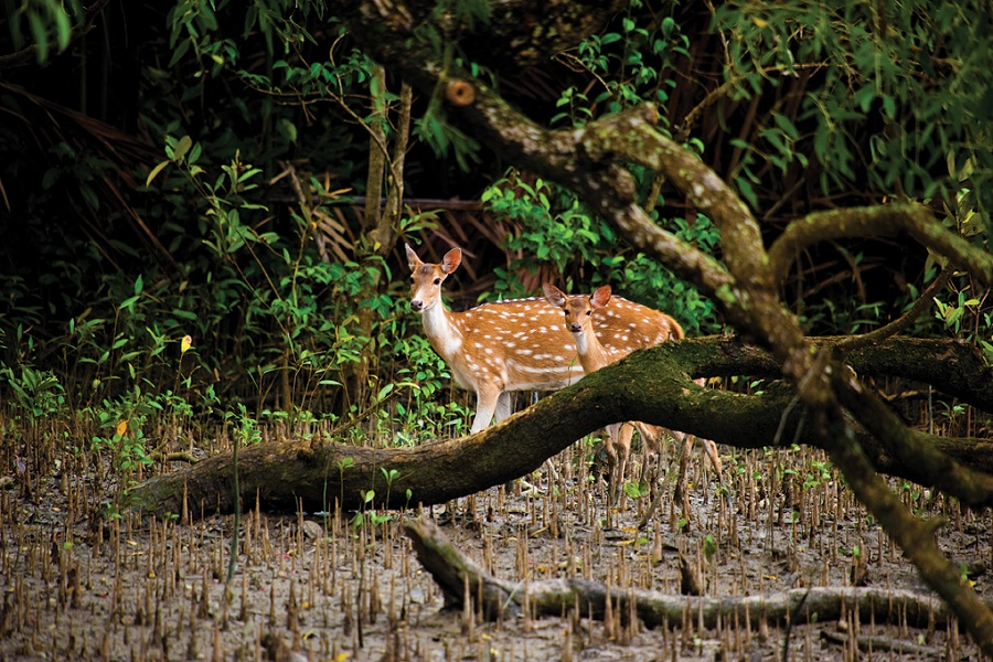 Spotted deer roam the mangroves in numbers.