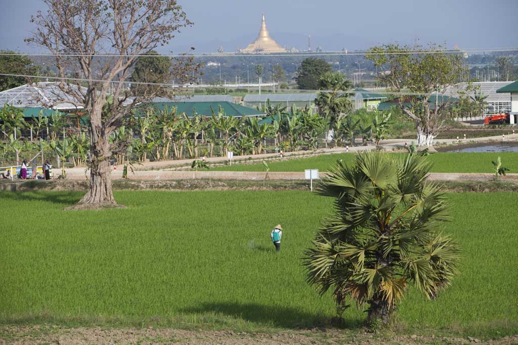 Farmers tend to rice paddy on a so-called model farm close to the house of President U Thein Sein. The President is a financial investor in the project.