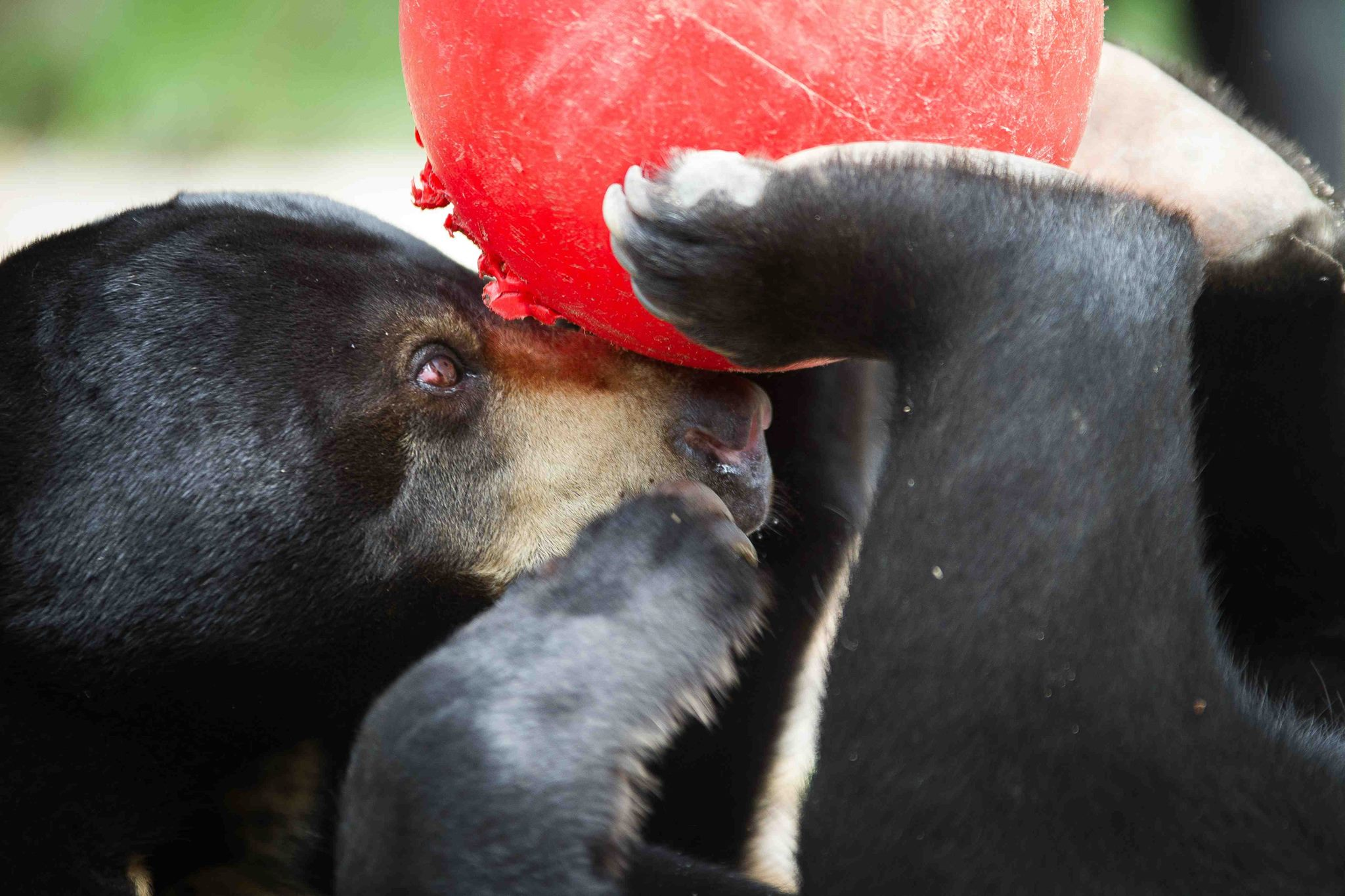 A rescued bear plays in an animal sanctuary. Photo by Peter Yuen