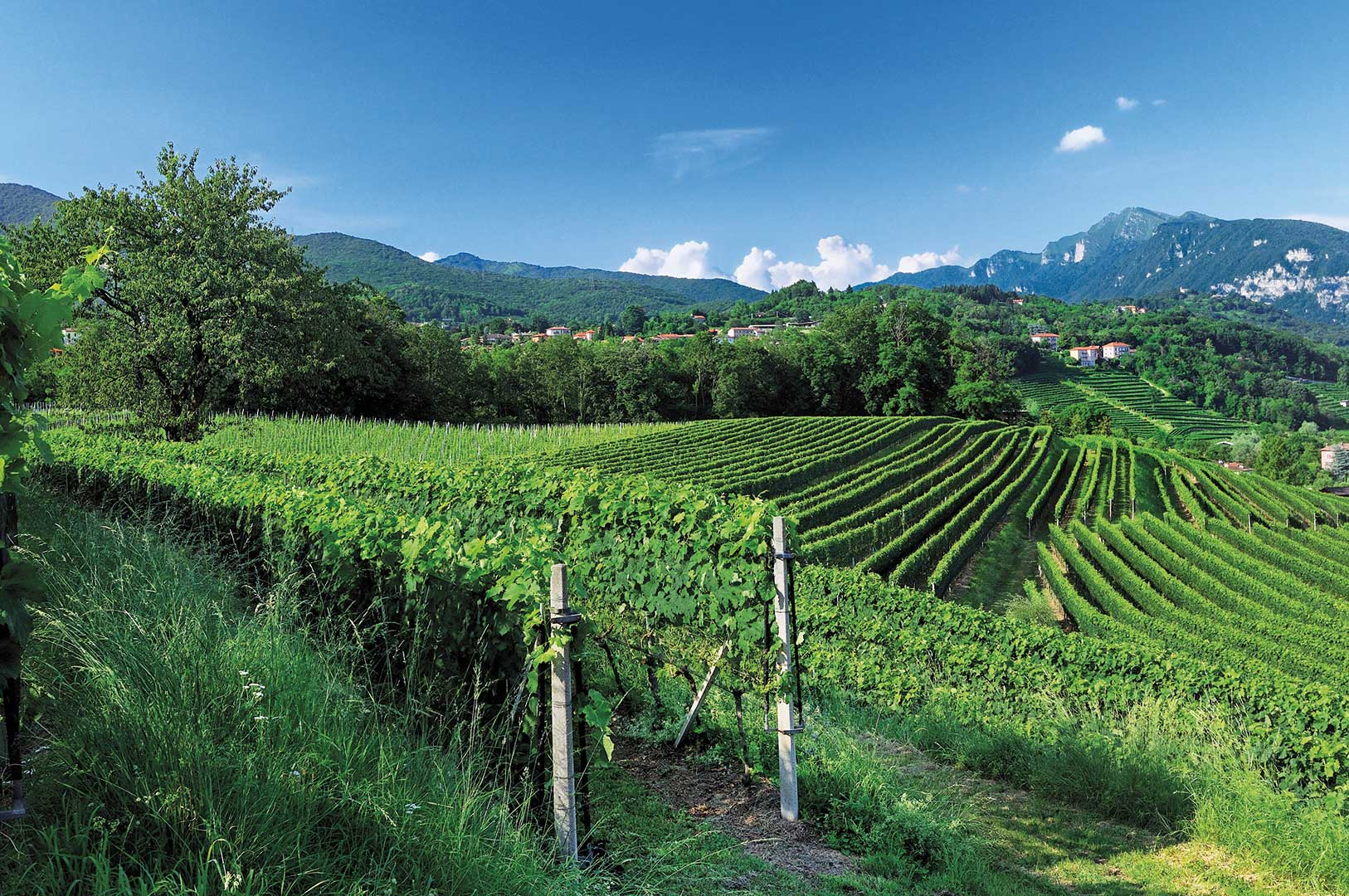 Vineyards in the Mendrisiotto region of Ticino.