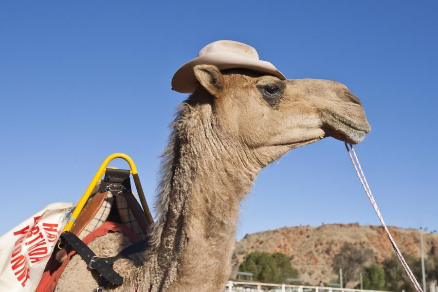 A camel strikes a pose at the Lasseters Camel Cup.