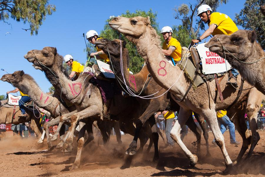 Camels off the starting line at the 2012 Lasseters Camel Cup.