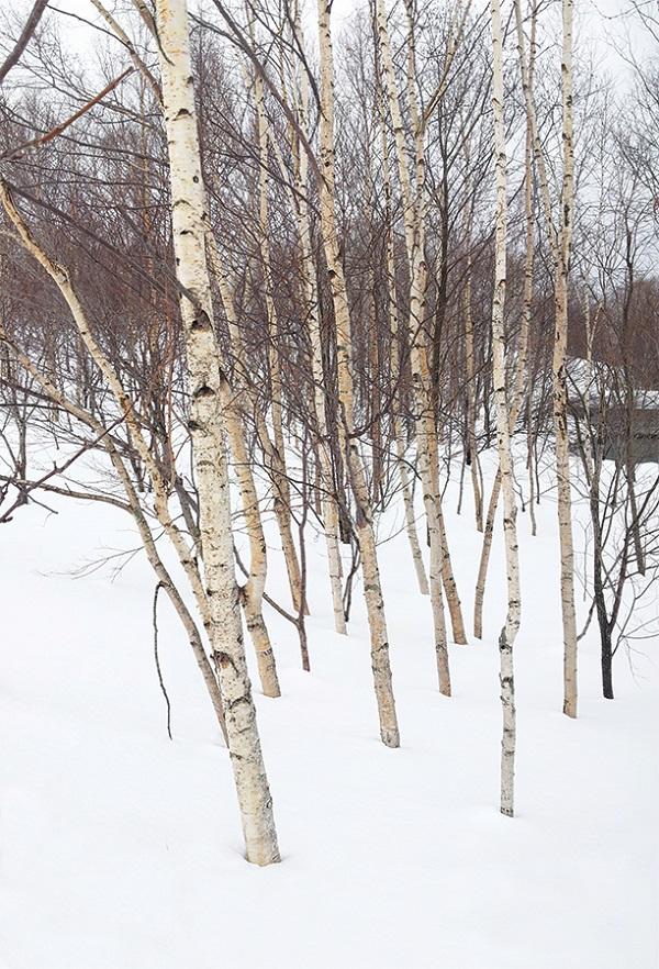 A stand of silver birches in Hirafu.