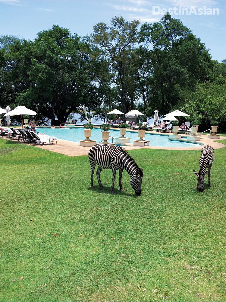 Resident zebras grazing on the lawn at the Royal Livingstone in Zambia, a riverside resort just upstream from Victoria Falls.