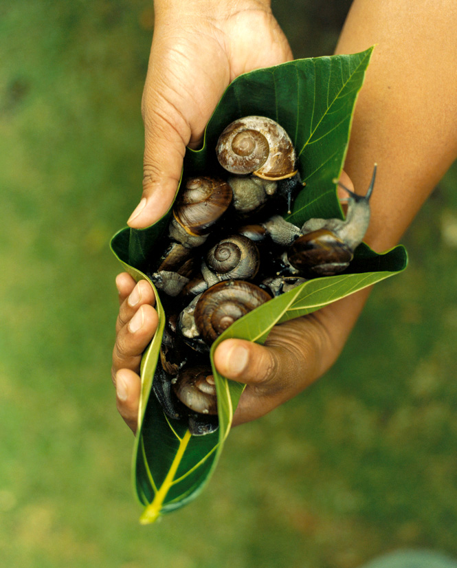 Known as marida, forest snails are an Ivatan delicacy when cooked in coconut milk.