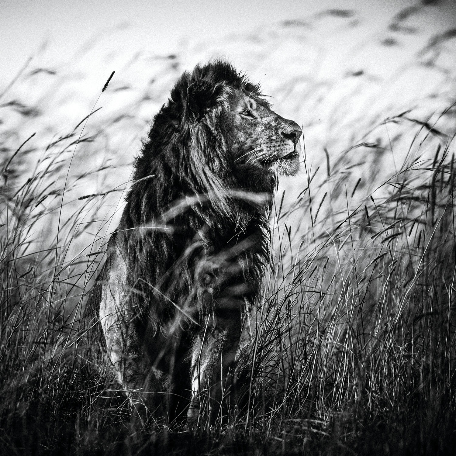 The Family Album of Wild Africa; Lion in the Grass