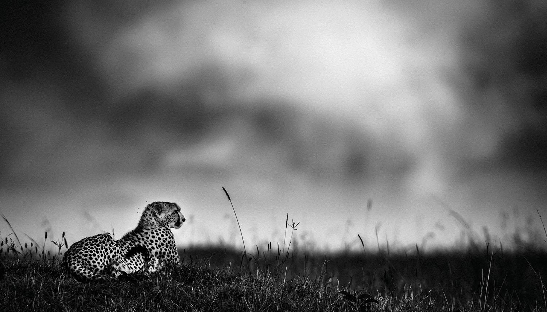 The Family Album of Wild Africa; Cheetah Before the Rain