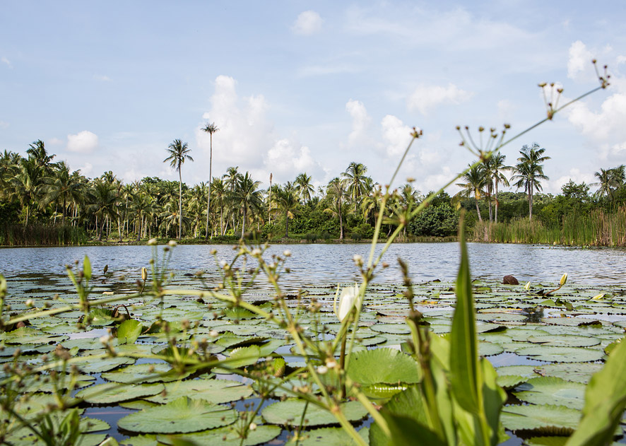 Reed-filled ponds dot Pulau Ubin, whose varied habitats are home to more than 600 plant species, almost 200 species of birds, and dozens of different mammals and reptiles.