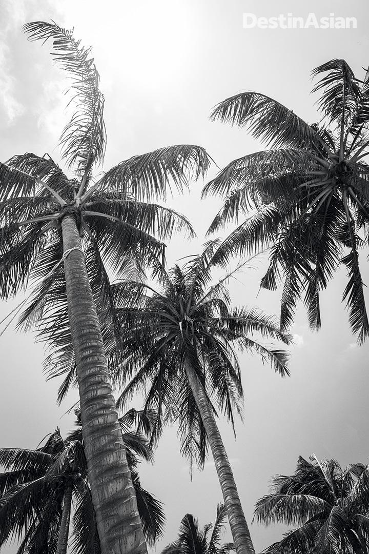 Coconut palms on Sao Beach.
