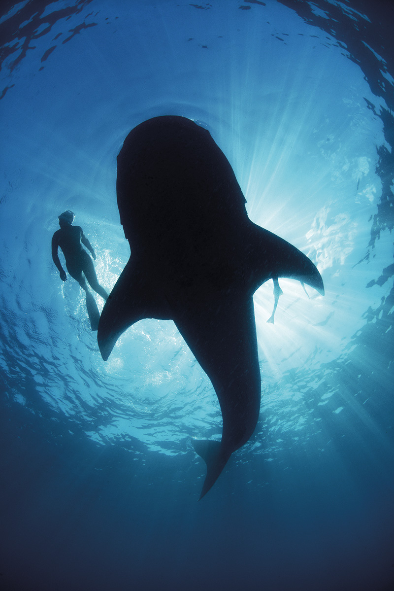 Snorkeling with a whale shark.