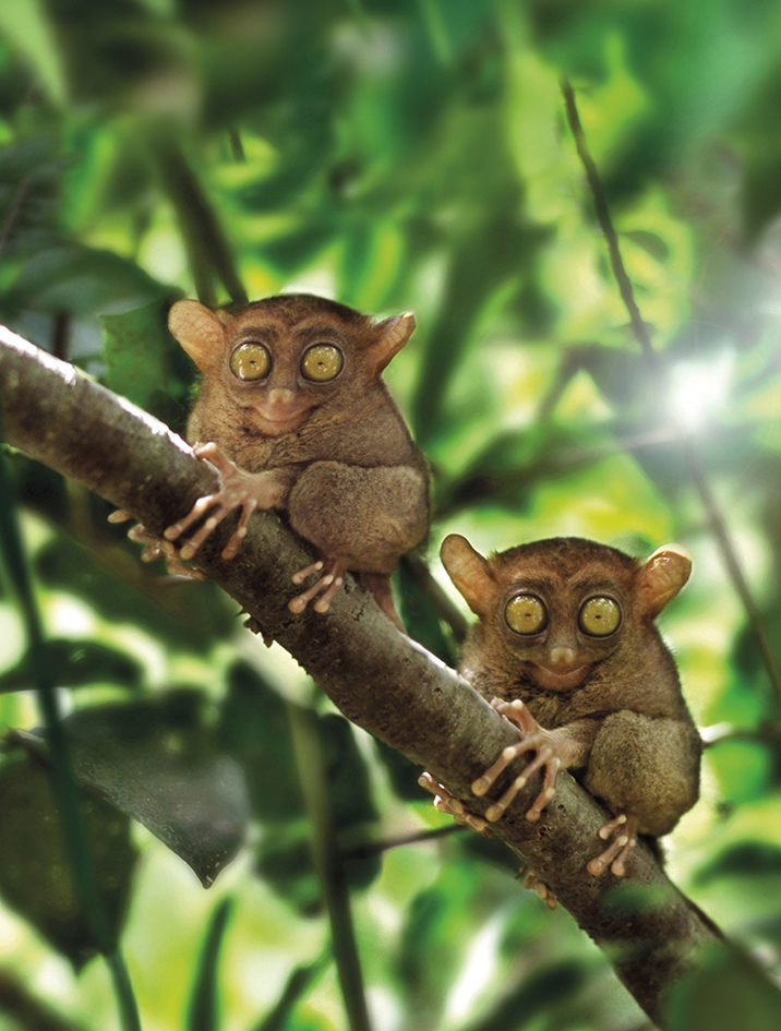 The wide-eyed tarsiers of Bohol.