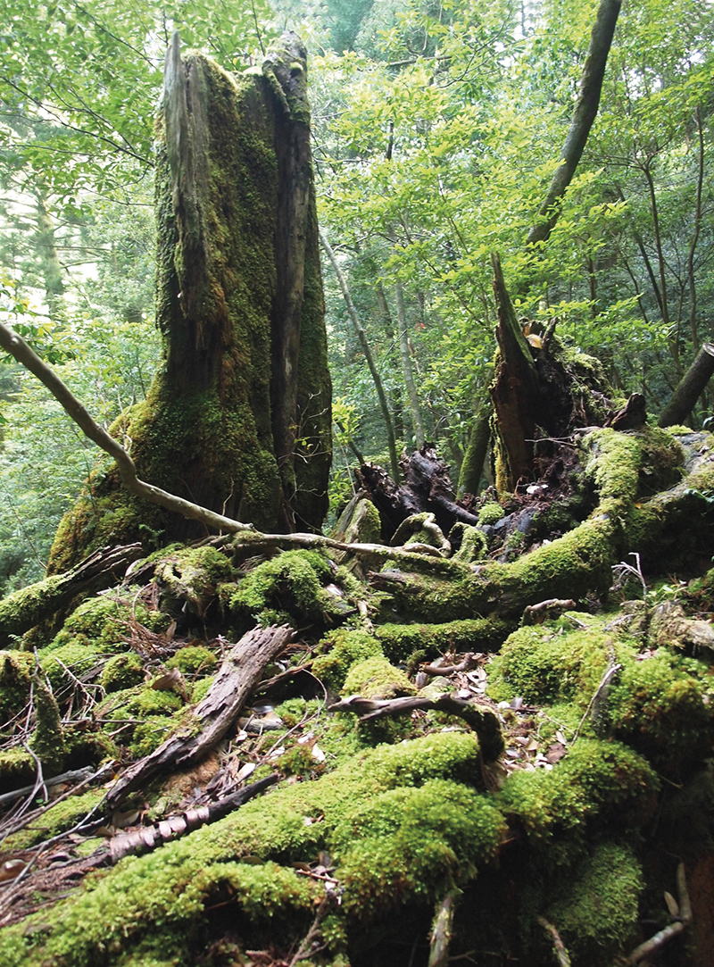Yakushima's mossy, mystical forests.