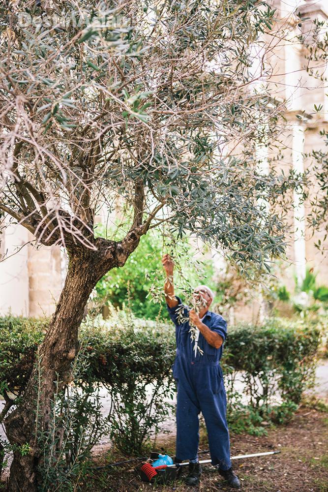 A gardener picking olives in an Evora churchyard.
