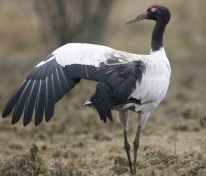 A Black-Necked Crane with wings extended