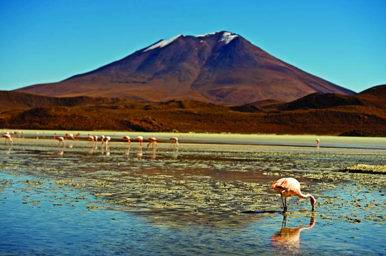 James's Flamingos are feeding in a shallow lagoon at 4,500 meters, close to the border with Chile.