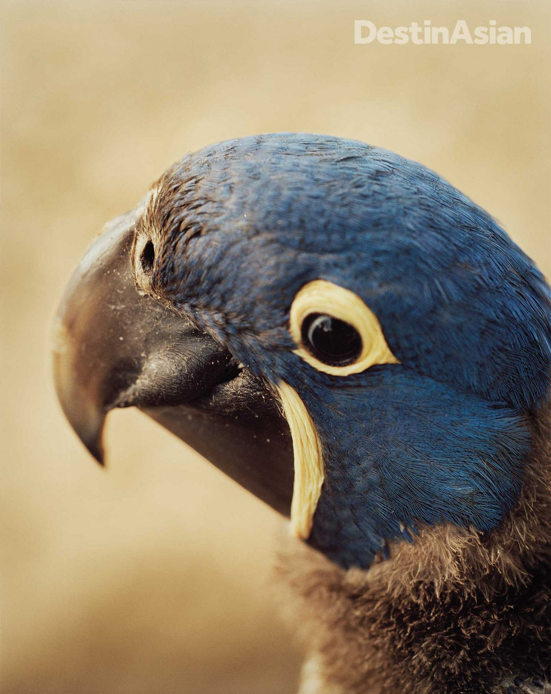 The native hyacinth macaw, saved from extinction.