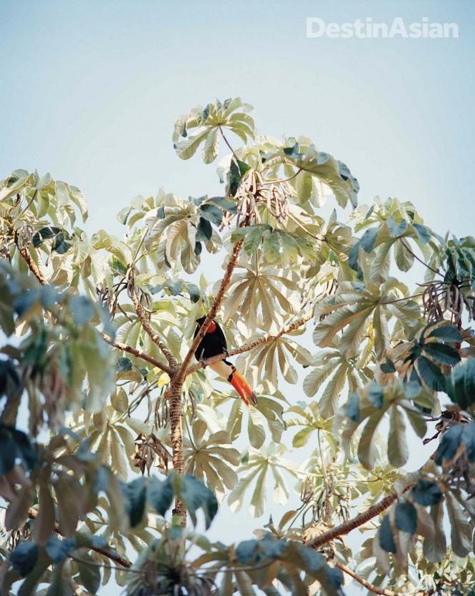 The Pantanal's abundant birdlife includes the toco toucan.