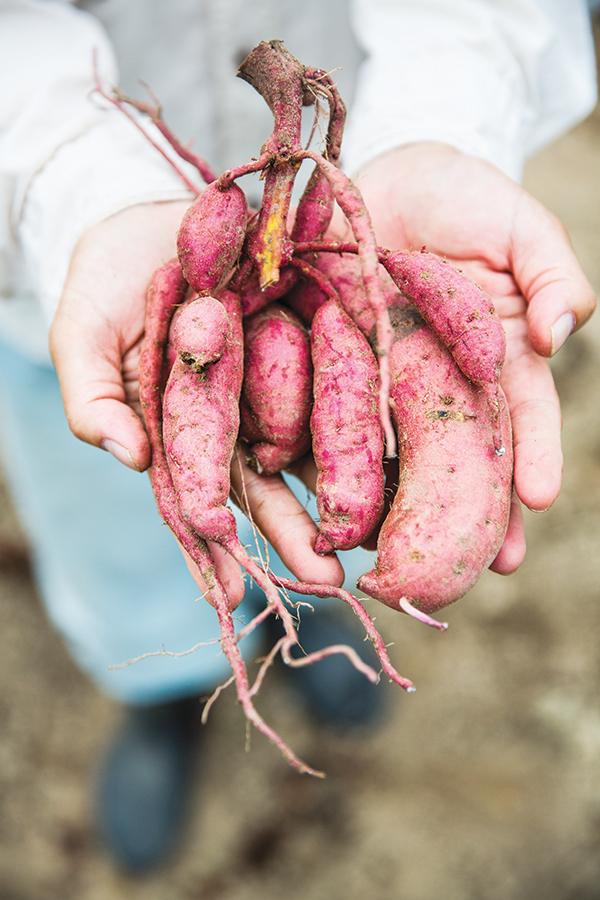 Sweet potatoes at Au Law Organic Farm.