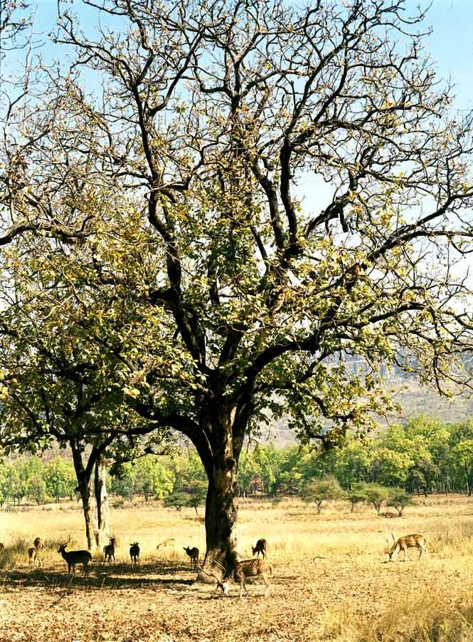 A herd of deer grazing in the grasslands of Bandhavgarh National Park.