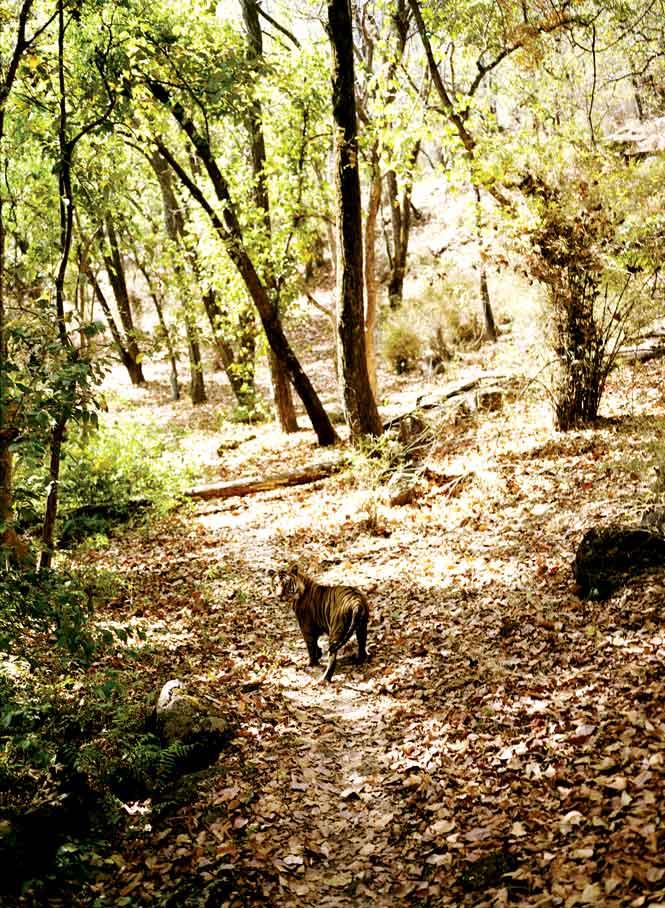 One of Bandhavgarh's tigers.