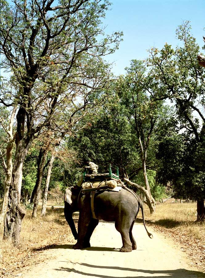A Safari Elephant in Bandhavgarh.