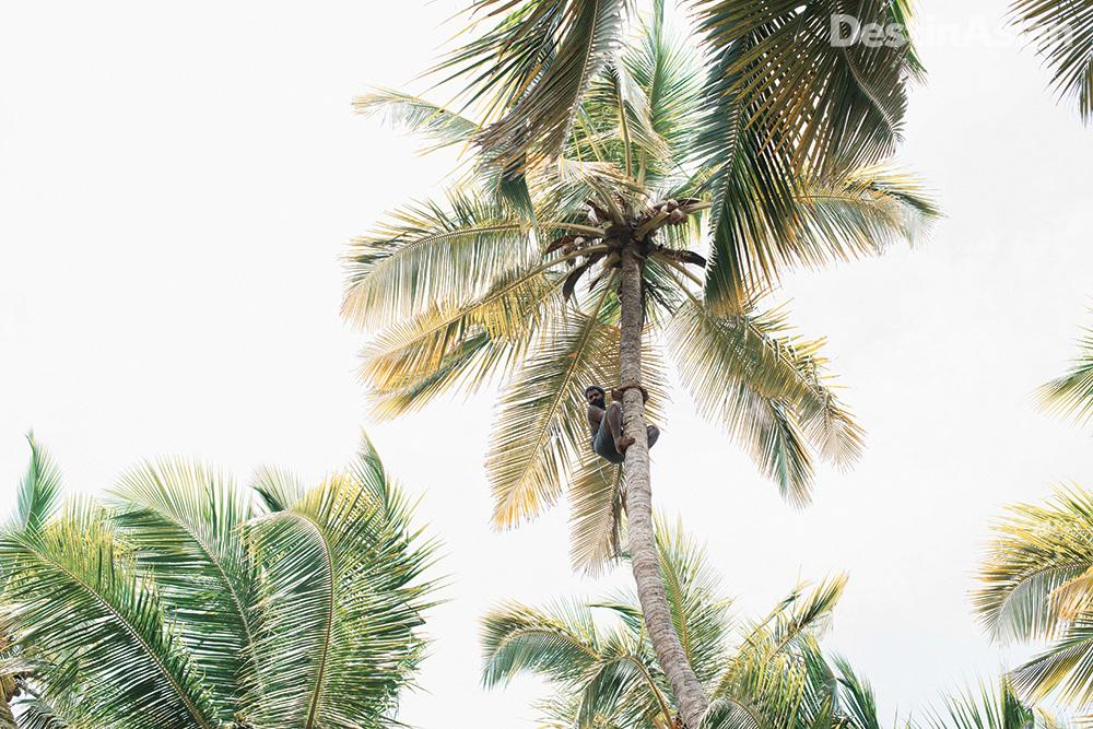 Picking coconuts on Valiyaparamba Island.
