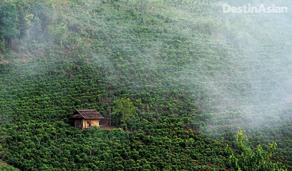 Phongsaly's highland climate and fertile soil provide ideal conditions for growing tea.