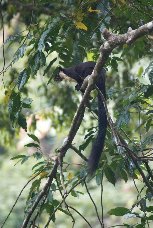 A giant black squirrel.
