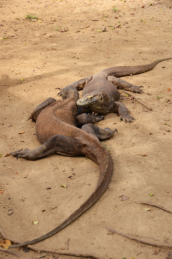 A clutch of Komodo National Park's eponymous dragons stretching on on Rinca Island. Photo by Pedro O'Connor