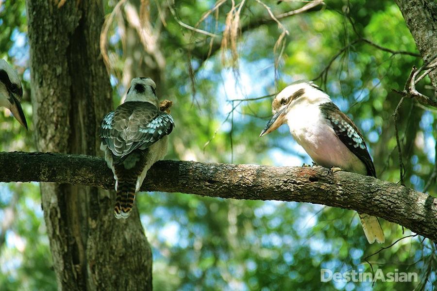 One of Fraser Island's resident kookaburras.