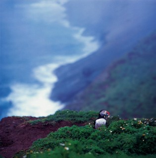 During June and July, some 6,000 pairs of puffins come to Skomer Island for their breeding season.