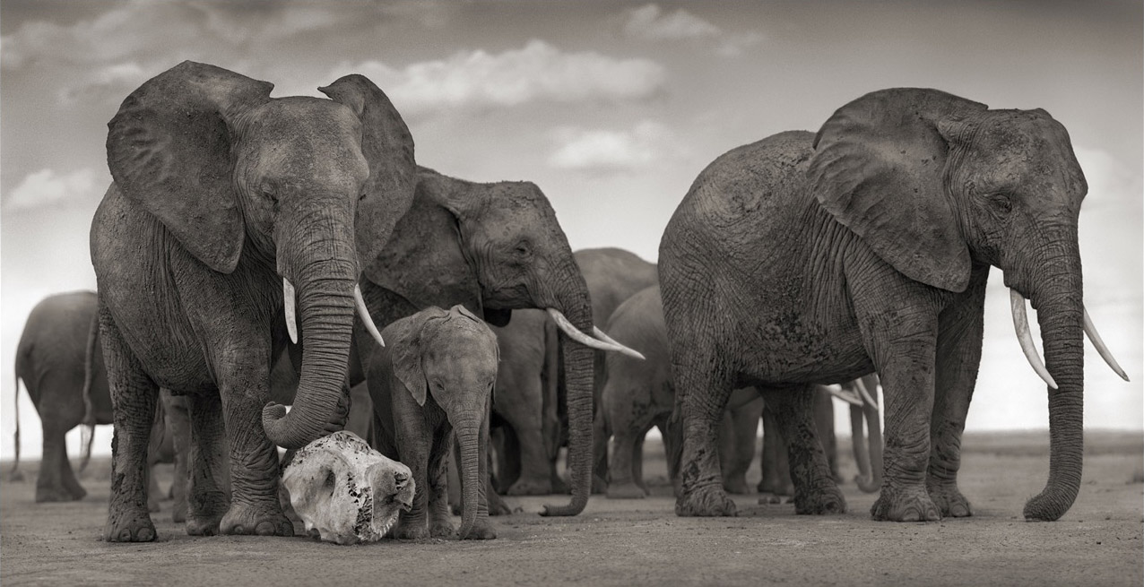 Estimates say up to 35,000 African elephants are being slaughtered each year.