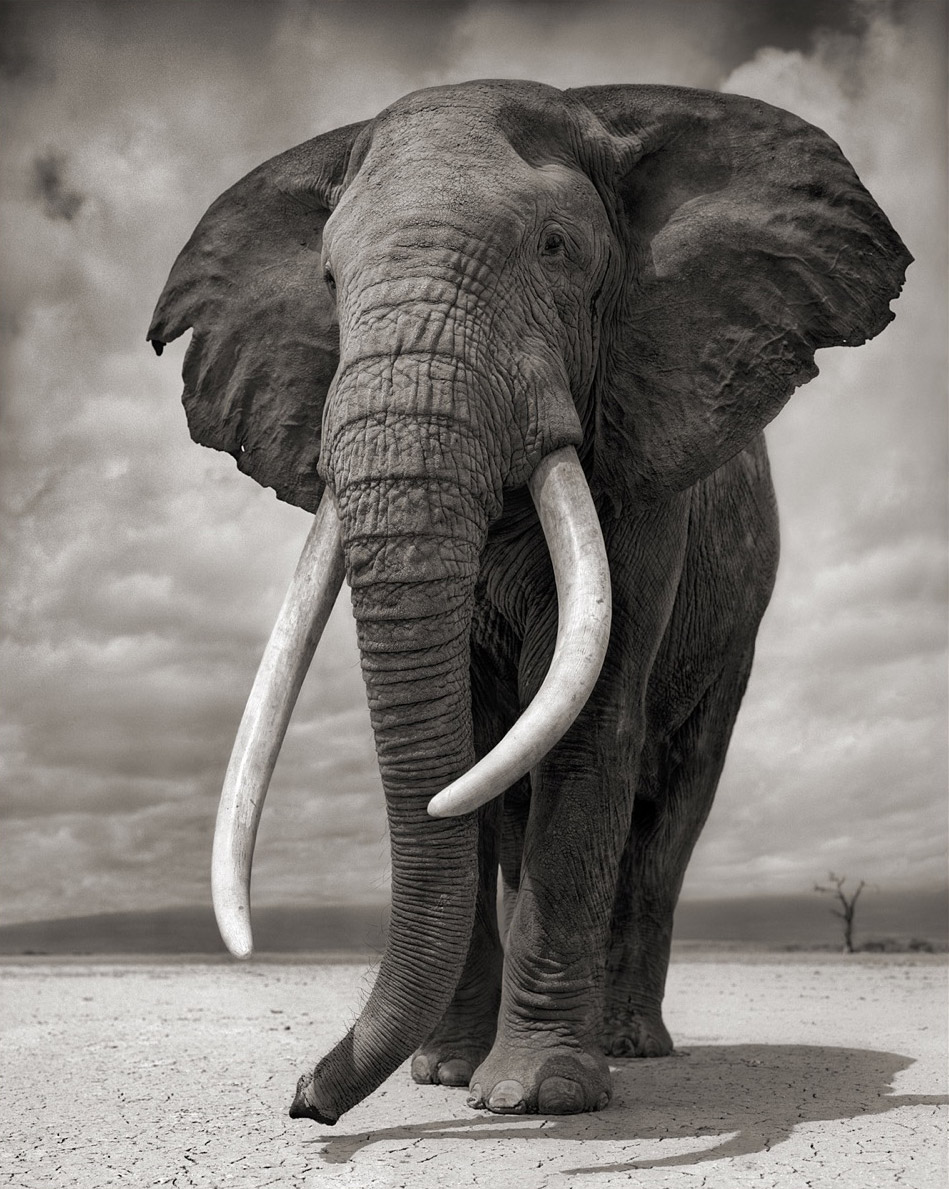 A 40-year-old bull elephant shot by Nick Brandt, with no zoom or telephoto lens.