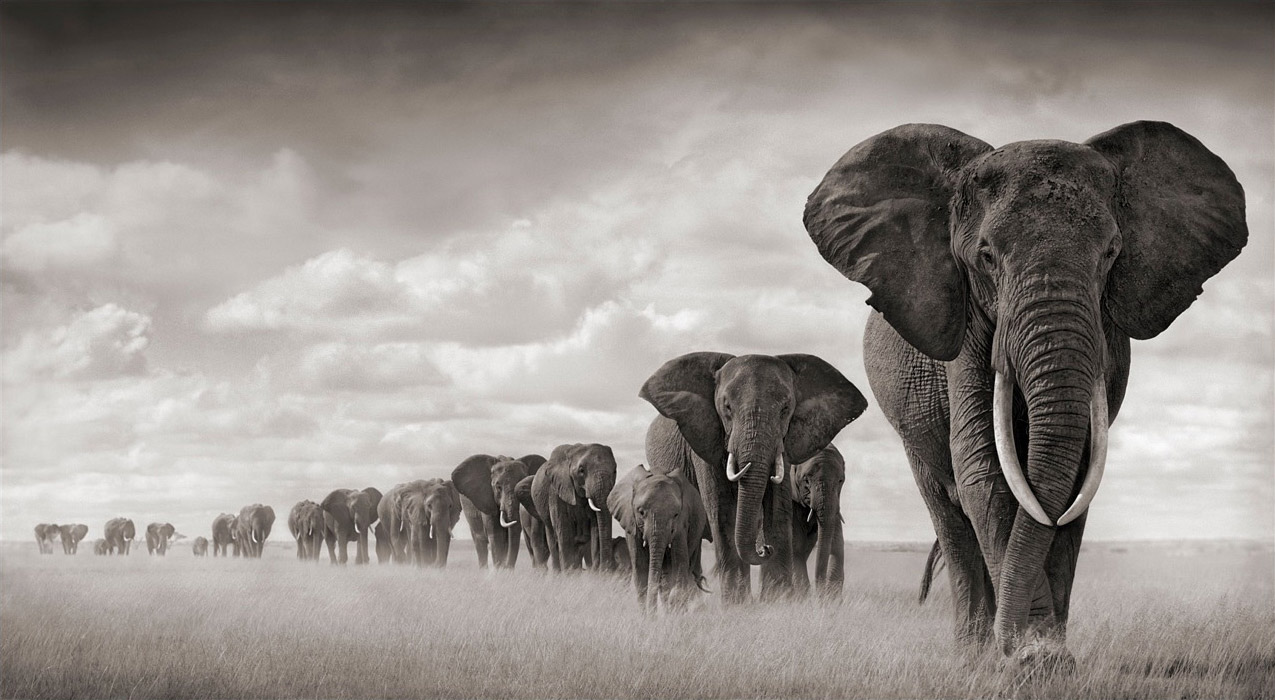 A now-deceased elephant matriarch leading her clan.