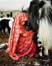 A Kyrgyz girl milking a yak