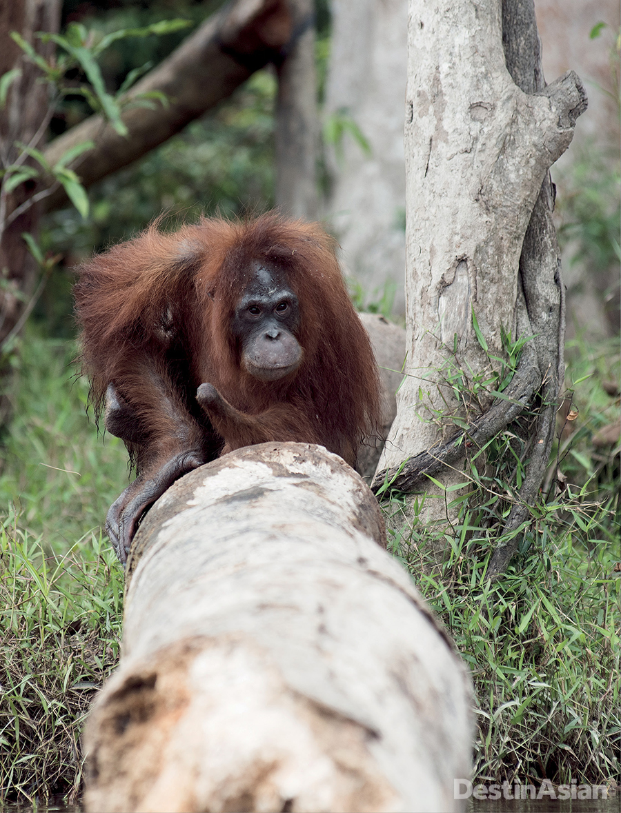 One of the BOS Foundation's rehabilitated orangutans on Banalas Island.