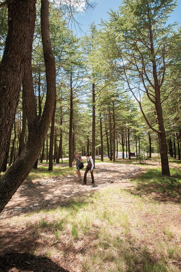 Walking along the Himalayan cedars at the National Arboretum.