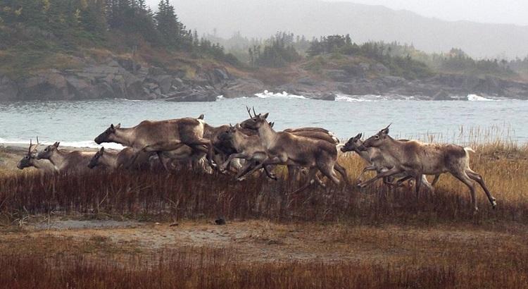 Spotting caribous on Fogo Island.