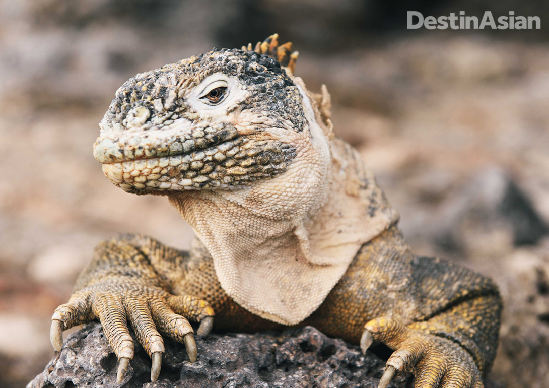 Three species of land iguana are endemic to the Galápagos, having evolved in isolation over millions of years from an ancestor shared with their near cousins the marine iguana.