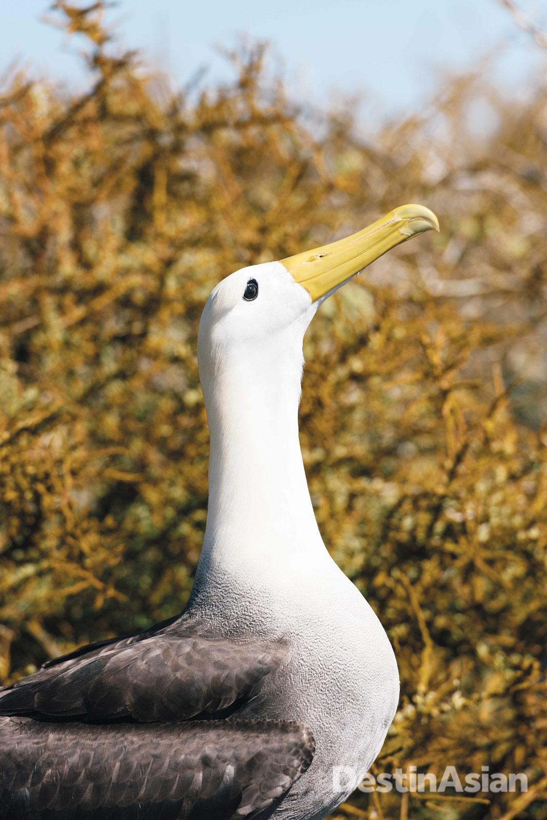 A waved albatross struts its stuff in the nesting grounds of Punta Suárez.