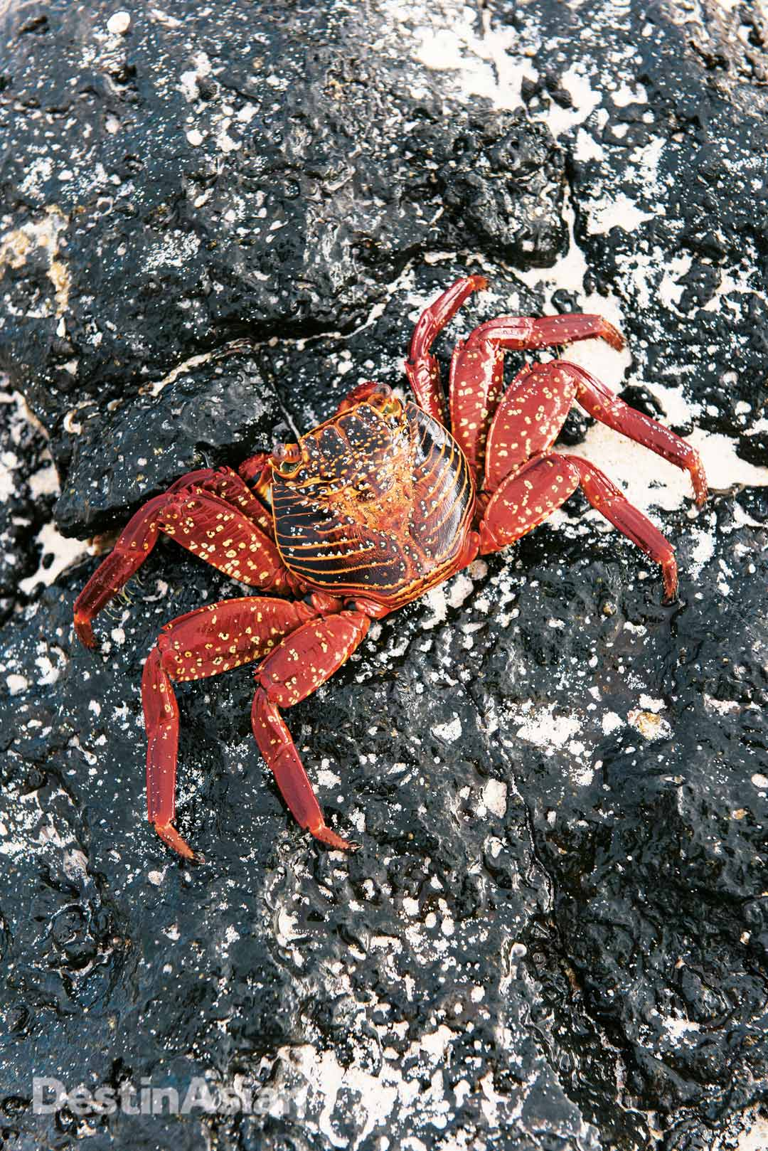 A Sally Lightfoot crab clinging to lava rock on the shores of San Cristóbal.