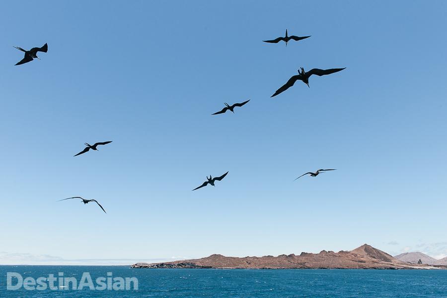 A flight of frigate birds en route to Bartolomé Island.