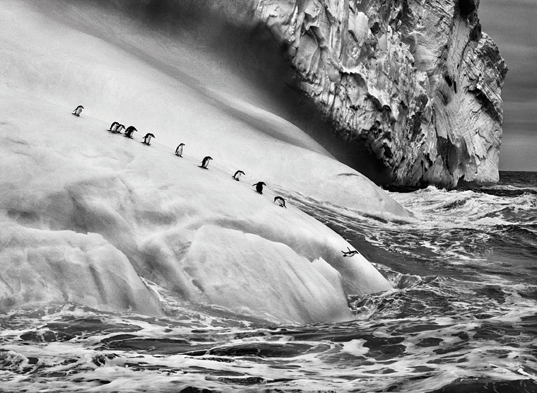 A waddle of chinstrap penguins taking their leave of an iceberg in the remote South Sandwich Islands.