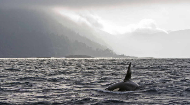 Orca sightings are commonplace in Haida Gwaii from May to October. Photo by Kevin Lanthier/ Getty Images.